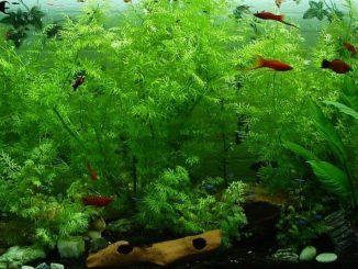 Aquarium-Grassamen