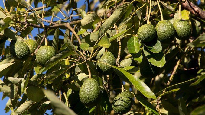 Avocado-baum-pflanze