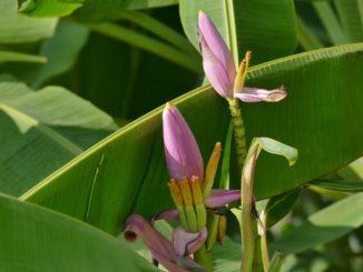 Bananenpflanze-Ableger-baum