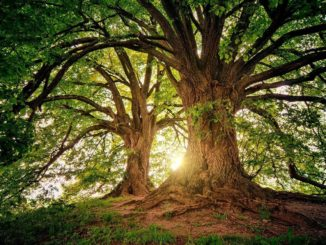 Leimring bei Baum schützt vor Insekten