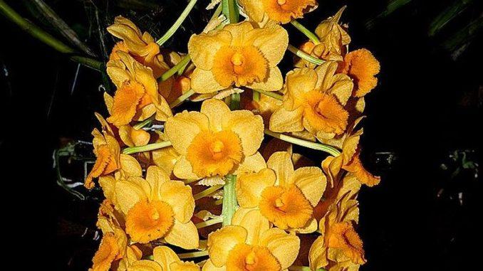 Dendrobium-densiflorum_Orchi