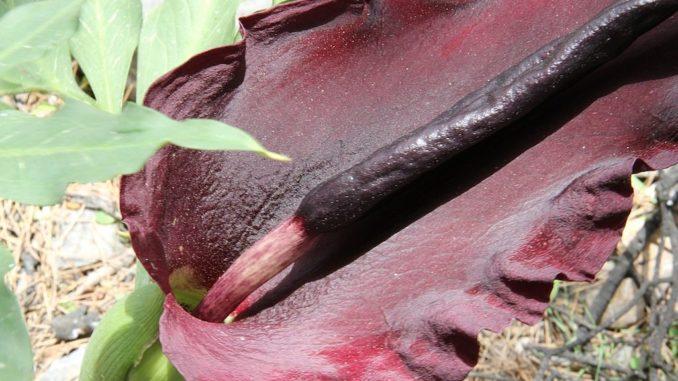 Dracunculus-gemeine-wurz