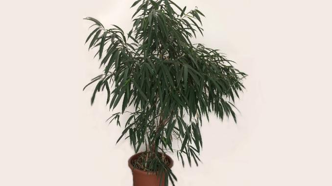 Ficus-alii