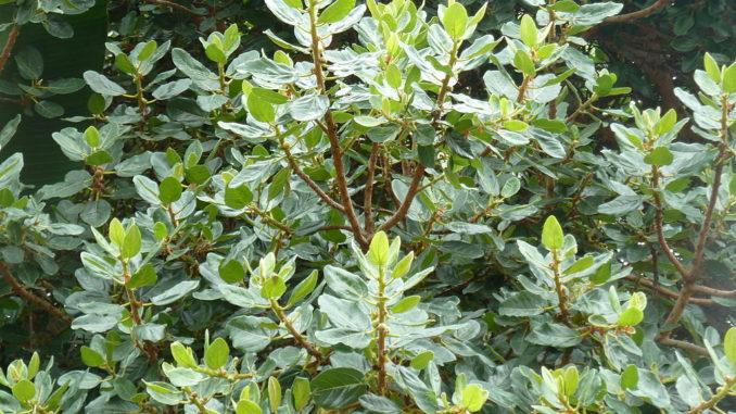 Ficus-glumosa