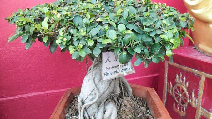 Ficus-retusa-bild