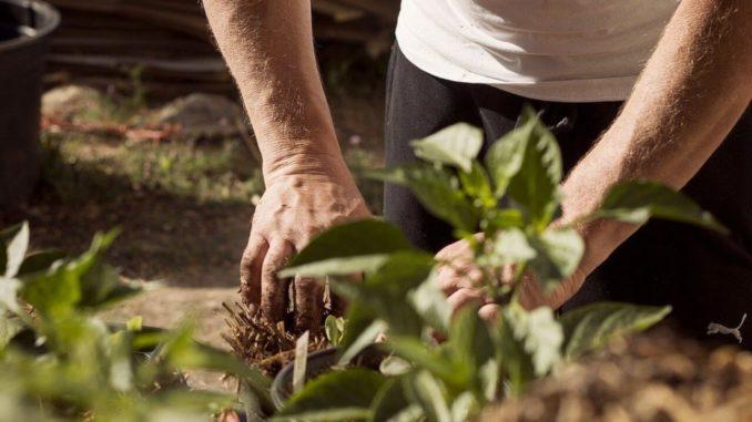 Mann töpfert Pflanzen um