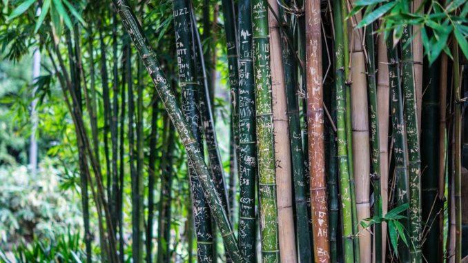 Immer mehr Menschen entdecken ihren grünen Daumen. Sie finden Gefallen daran, sich auch zuhause als Hobby-Gärtner zu versuchen. Unter anderem ist dabei der Bambus eine sehr beliebte Pflanze, da er sehr pflegeleicht ist und vor allem schnelle Ergebnisse zeigt und vielseitig verwendbar ist.