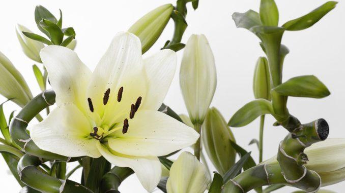 Glücksbambus mit Blume