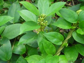 Gymnema-Sylvestre-pflanze