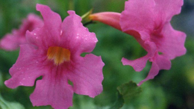 Maulwurfschreck Pflanze Incarvillea