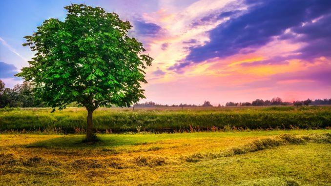 klein gehaltener Kastanienbaum