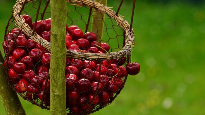 Kirschen nach der Ernte