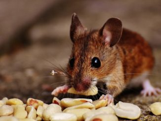 Maus frisst Vorräte