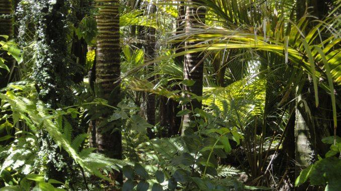 Muira Puama im Regenwald