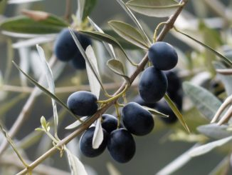 Olivenkern einpflanzen