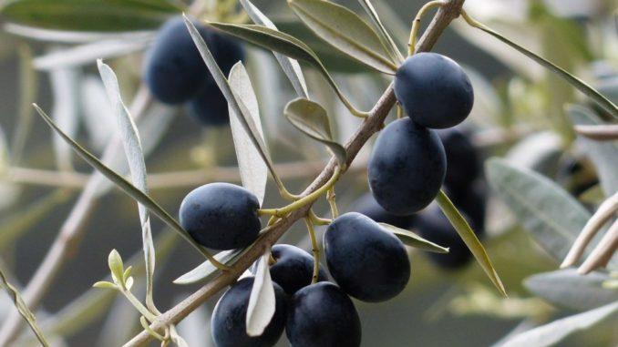 Olivenbaum mit schwarzen Oliven Olivenkern-einpflanzen