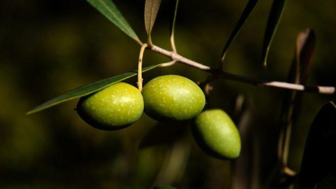 Oliven an einem Olivenbaum