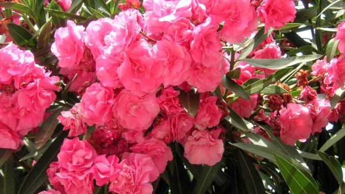 oleander-ursache-schwarze-punkte