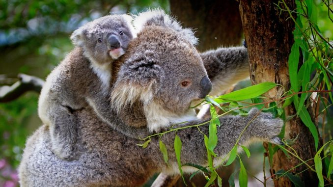 Pflanzenfresser-koala-bear
