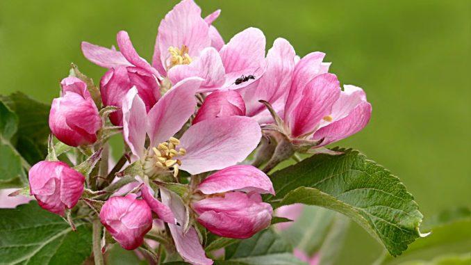 Phylliopsis × hillieri