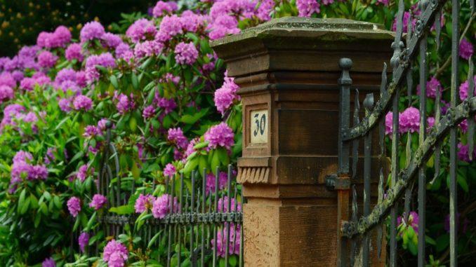Rhododendron-schneiden-tipps