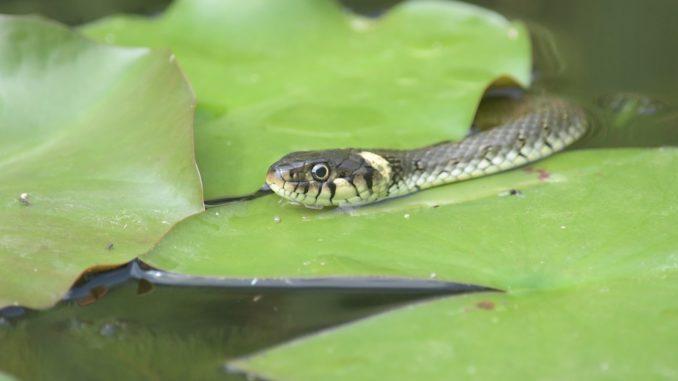 Schlange im Gartenteich