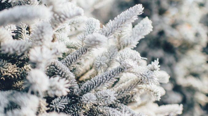 Schnee im März auf einem Nadelbaum