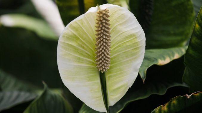 Spathiphyllum-einblatt