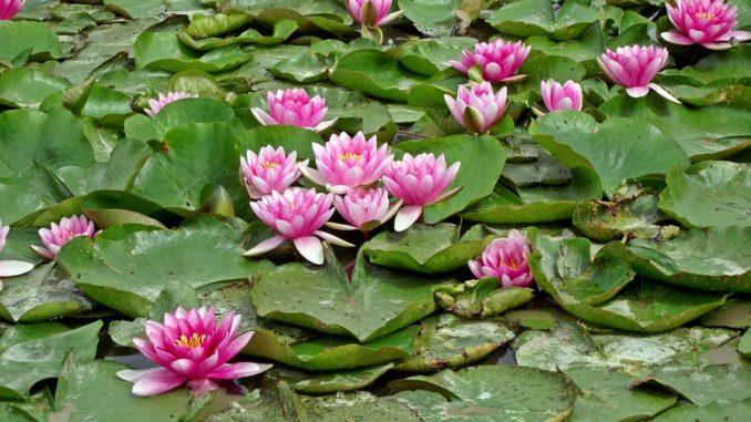 Viele-Wasserlilien