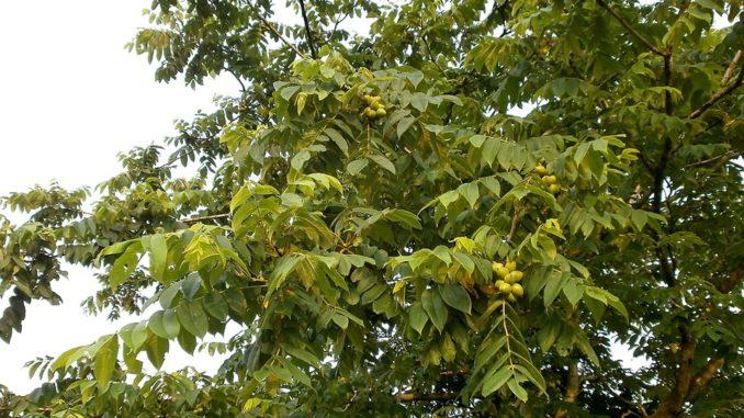 walnussbaum-blaetter-trocknen