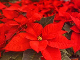 Wie bringt man einen Weihnachtsstern zum blühen?