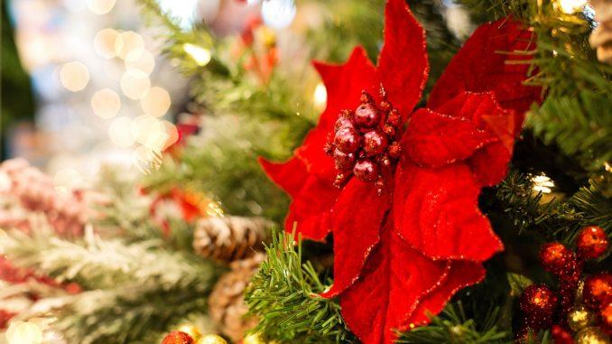 Weihnachtsstern Draussen Pflanzen