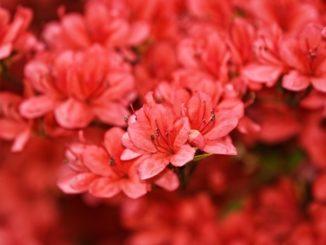 Rhododendron Strauch am blühen