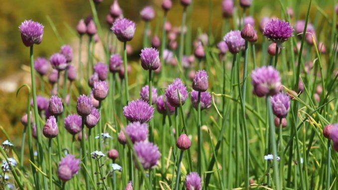 Wilder Schnittlauch mit Blüten