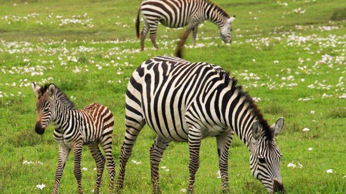 Zebra-am-pflanzen-essen