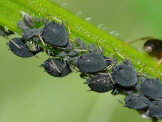 Blattläuse Schädlinge