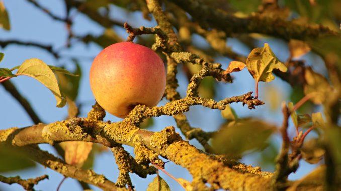Garten Herbst Apfel