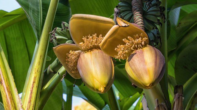 bananenbaum-palme-gezuechtet