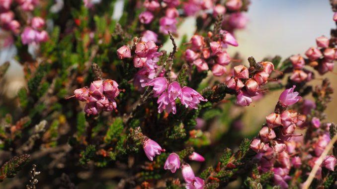 besenkraut-heide-pflanze