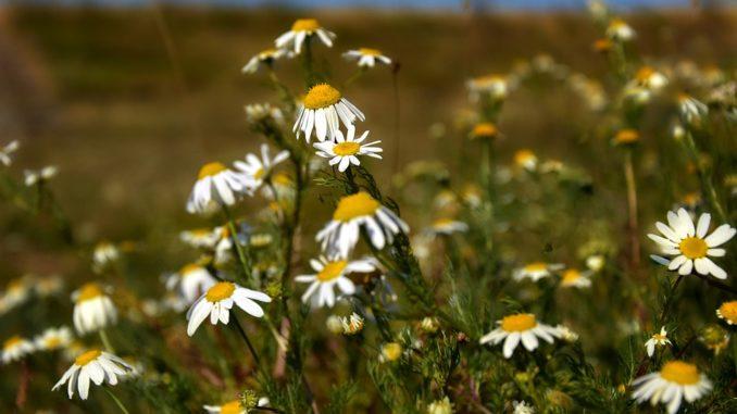Wildpflanzen bestimmen nach Blütenfarbe