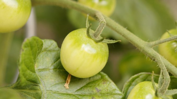 rapunzel salat mit tomaten
