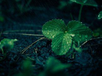 erdbeertopf-bepflanzen-und-ueberwintern