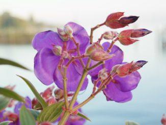 Veilchenblume