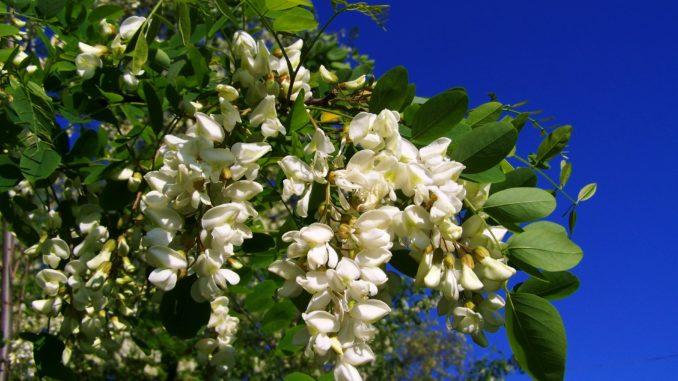 Akazie Blüte