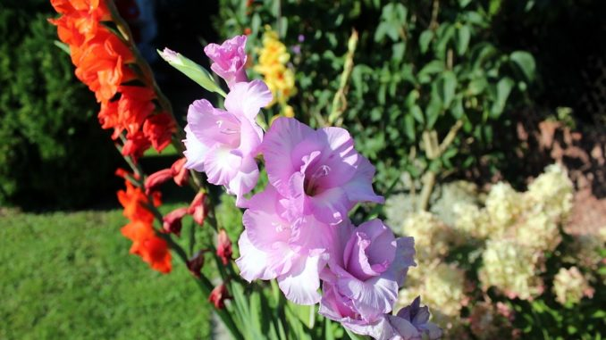 gladiolen-vase