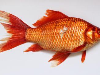 goldfisch-laich