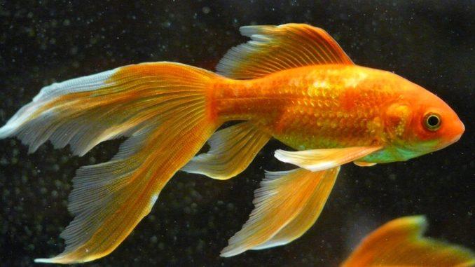 goldfischlaich