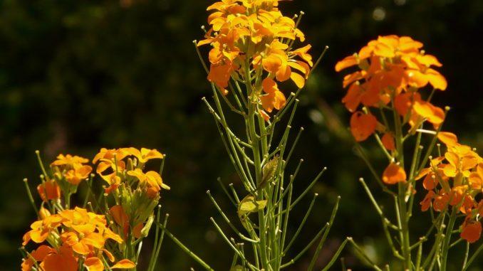 goldlack-kreuzbluetler