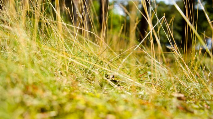 Rasen gießen bei Hitze