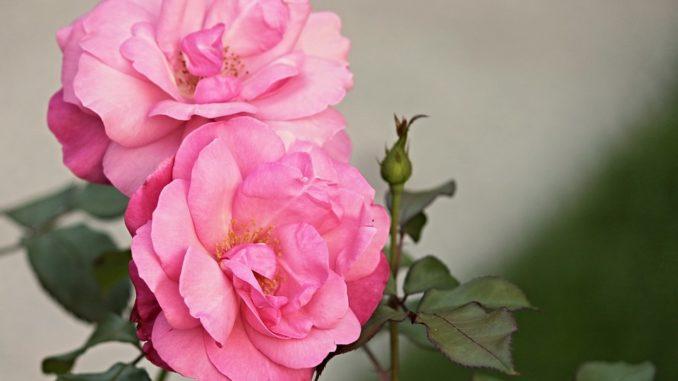heckenrose-rosenart-blume